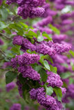 Flowering of lilac in the park. Beautiful lilac bloom in a green park Royalty Free Stock Image