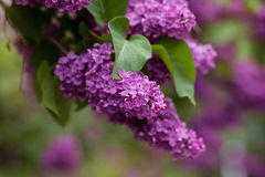 Flowering of lilac in the park. Beautiful lilac bloom in a green park Stock Image