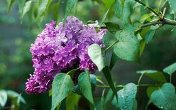 Flowering lilac after rain. In may month Stock Photos