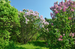 Flowering  lilac shrubs in the spring garden Stock Photo