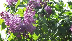 Flowering lilac in the spring stock video