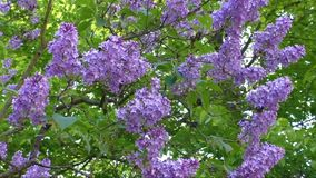 Flowering lilac tree in late spring stock video