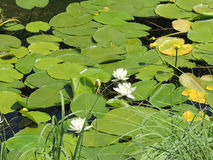Flowering lilies. Green leaves and white flowers of lilies on the lake surface. Green carpet of leaves and flowers of lilies Royalty Free Stock Photography