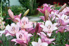 Flowering of Lilium. Royalty Free Stock Photos
