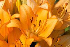 Flowering of Lilium. Royalty Free Stock Image