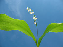 Flowering lily May (Convallaria majalis) Royalty Free Stock Photos