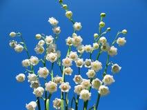Flowering lily May (Convallaria majalis) Royalty Free Stock Photos