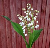 Flowering lily May (Convallaria majalis) Royalty Free Stock Images