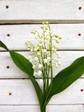 Flowering lily May (Convallaria majalis) Royalty Free Stock Image