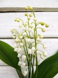Flowering lily May (Convallaria majalis) Stock Images