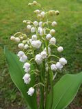 Flowering lily May (Convallaria majalis) Stock Photo