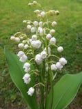 Flowering lily May (Convallaria majalis) Stock Photo