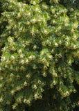 Flowering linden tree. (Tilia cordata Stock Photography