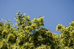 Flowering linden tree against blue sky. View from the window stock image