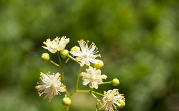 Flowering linden trees Stock Photography