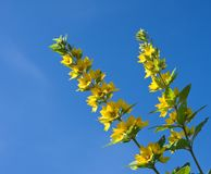 Flowering loosestrife. Against the sky Royalty Free Stock Image