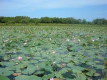 Flowering lotuses in summer. Royalty Free Stock Photos