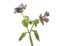 Flowering Lungwort Royalty Free Stock Image