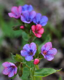 Flowering lungwort (Pulmonaria obscura) Stock Image