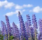 Flowering lupines Stock Photo