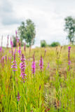 Flowering Lythrum salicaria or purple loosestrife in a marshy ar Royalty Free Stock Photography