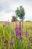 Flowering Lythrum salicaria or purple loosestrife in a marshy ar Stock Photos