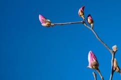Flowering magnolia. On a background dark blue sky. Beginning of spring Stock Photos