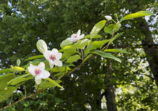 Flowering of magnolia in a bright sunny day (Magnoolia sieboldi) Royalty Free Stock Photos