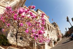 Flowering magnolia in front of Baltimore City Hall. Flowering magnolia tree in front of Baltimore City Hall at sunny day, Maryland, USA stock photo