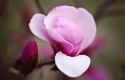 Flowering magnolia in the garden. Royalty Free Stock Photos