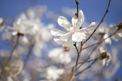 Flowering Magnolia - Merill Stock Image