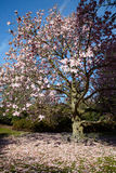 Flowering magnolia tree Stock Image