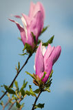 Flowering magnolia tree Stock Images