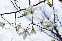 Flowering magnolia tree. Background from tender white buds on branches, Bottom view stock images