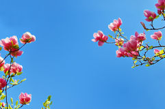 Flowering magnolia tree branches Stock Image