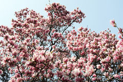 Flowering magnolia tree densely covered with beautiful fresh pin Stock Photography