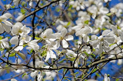 Flowering Magnolia tree Royalty Free Stock Photo