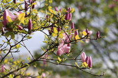 Flowering Magnolia tree. In a Park in Paris Stock Photography