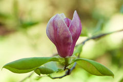 Flowering magnolia. Tree with pink flowers stock images