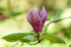 Flowering magnolia Stock Images