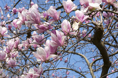 Flowering Magnolia tree, pink flowers on blue sky background, sp Stock Images