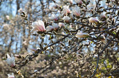 Flowering magnolia Stock Images