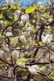 Flowering magnolia Royalty Free Stock Image