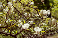 Flowering magnolia Royalty Free Stock Photo