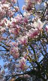 Flowering Magnolia Tulip Tree. Chinese Magnolia x soulangeana Magnoliaceae blossom with tulip-shaped flowers royalty free stock photography