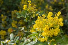 Flowering Mahonia aquifolium Royalty Free Stock Photography