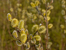 Flowering male pussy willow catkins, selective focus Salix. Bright yellow male flowering pussy willow catkins , selective focus - Salix Stock Image