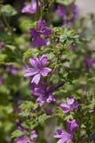 Flowering mallow Royalty Free Stock Image