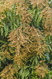 Flowering mango tree pollen Stock Images