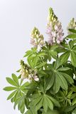 Flowering Many Leaved Lupin Stock Images
